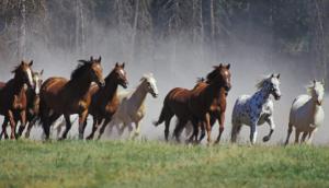 Культурно табунный метод выращивания лошадей